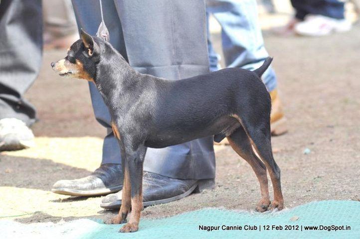 miniature pinscher,, Nagpur Dog Show, DogSpot.in