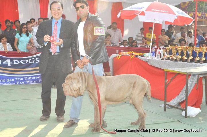 neapolitian mastiff,, Nagpur Dog Show, DogSpot.in