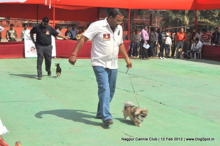 pekingese,, Nagpur Dog Show, DogSpot.in