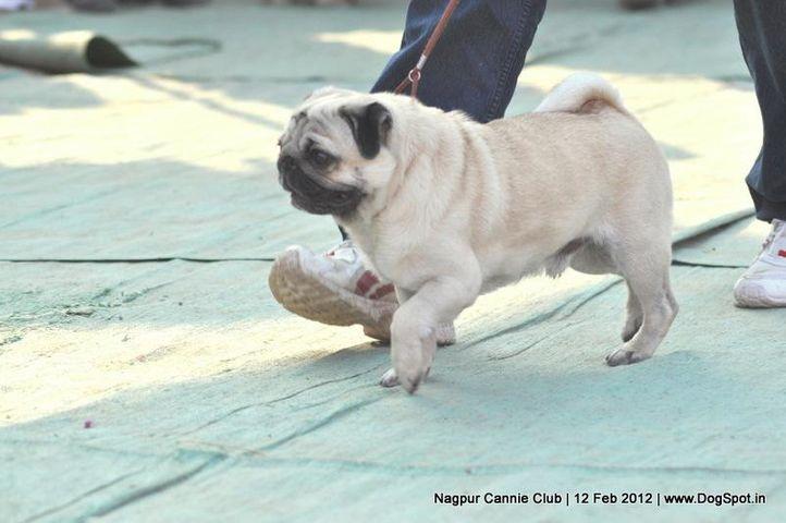 pug,, Nagpur Dog Show, DogSpot.in