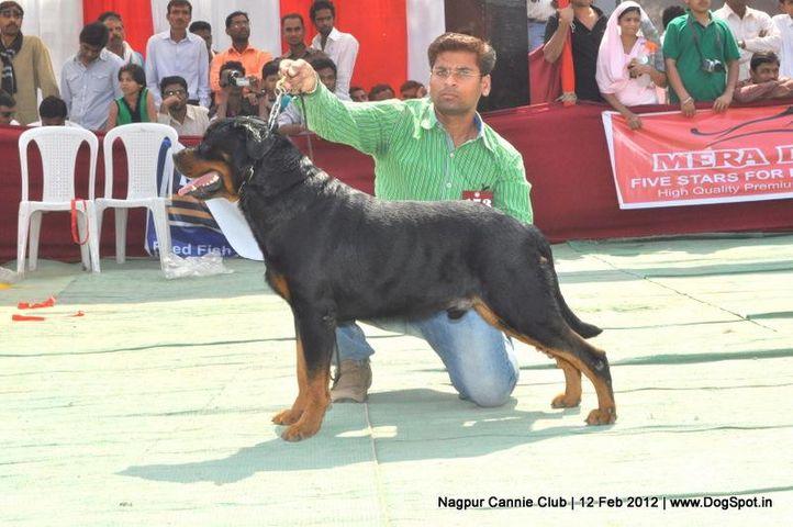 rottweiler,, Nagpur Dog Show, DogSpot.in