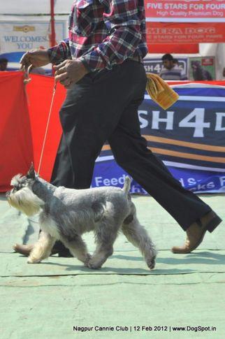 min schnauzer,, Nagpur Dog Show, DogSpot.in