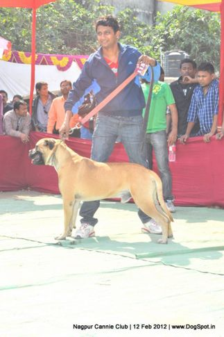 bull mastiff,, Nagpur Dog Show, DogSpot.in