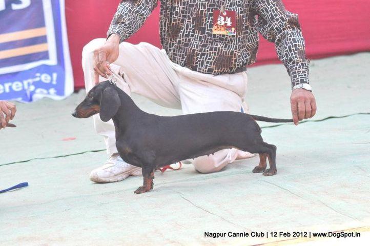daschund,, Nagpur Dog Show, DogSpot.in