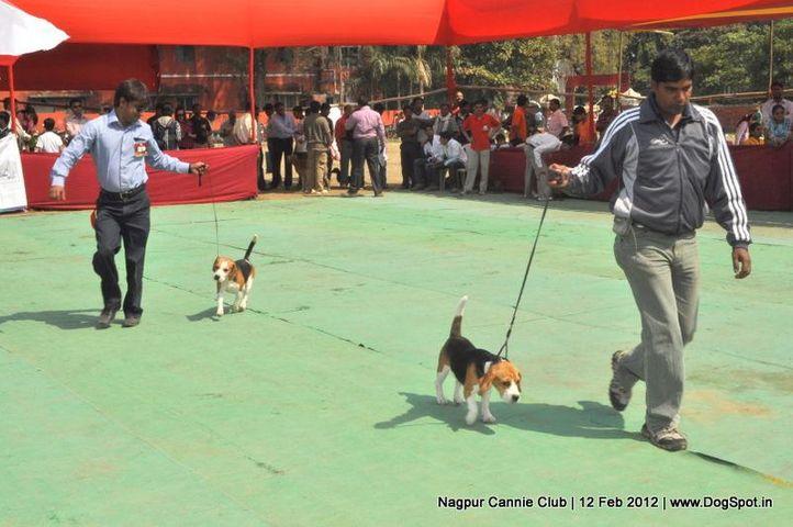 beagle,, Nagpur Dog Show, DogSpot.in