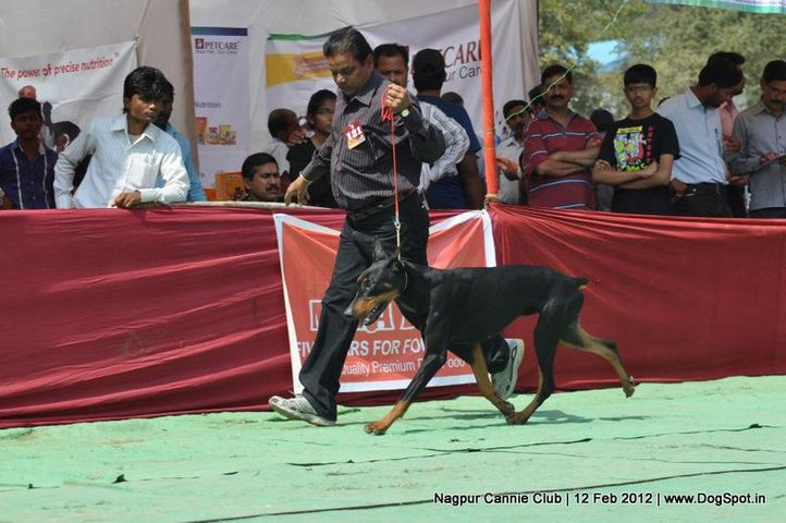 dobermann,, Nagpur Dog Show, DogSpot.in