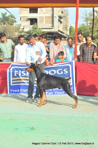 dobermann,, Nagpur Dog Show, DogSpot.in