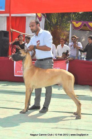 great dane,, Nagpur Dog Show, DogSpot.in