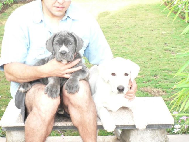 , Neo Mastiff & Lab, DogSpot.in