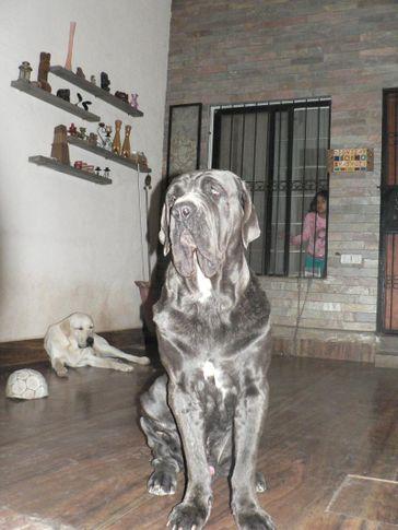 , Neo Mastiff & Lab, DogSpot.in