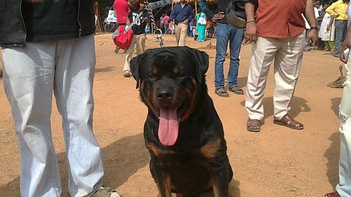 bangalore dog show photos, Nepolean mastiff, DogSpot.in