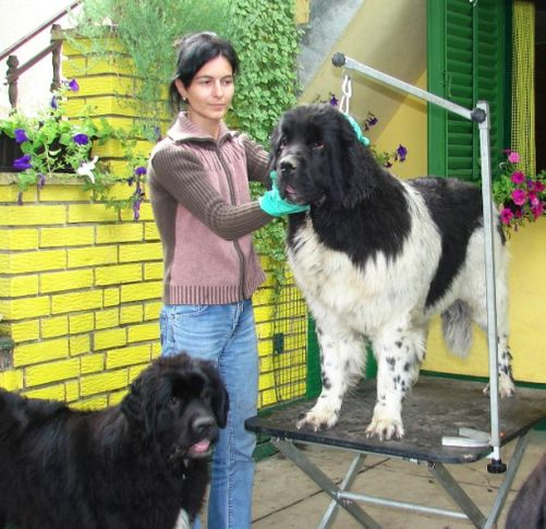 , NEWFOUNDLAND KENNEL DARIUS LAND, DogSpot.in