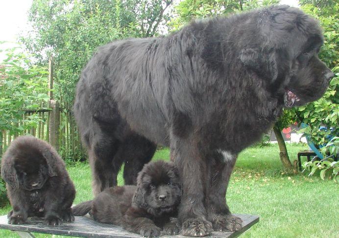 Cyclone/3 years old/,Frida and Ferdinand vom Darius Land/2 months old/ , NEWFOUNDLAND KENNEL DARIUS LAND, DogSpot.in