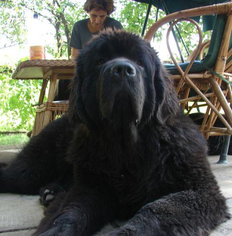 Grazia vom Darius Land / 8 months old/, NEWFOUNDLAND KENNEL DARIUS LAND, DogSpot.in