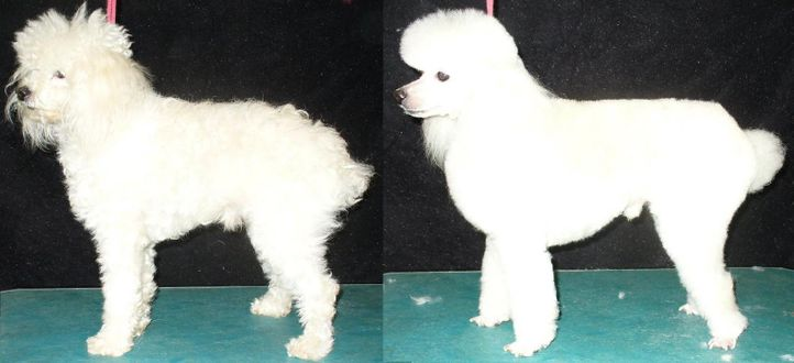 , Tóbi before and after. I have to wait the legs hair grow., DogSpot.in