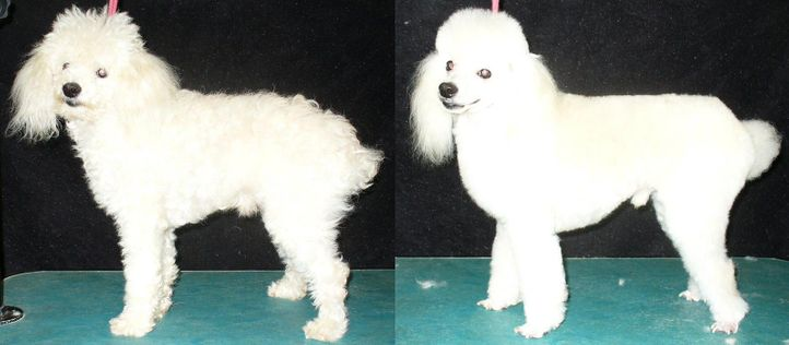 , Tóbi before and after (he is smilling now), DogSpot.in