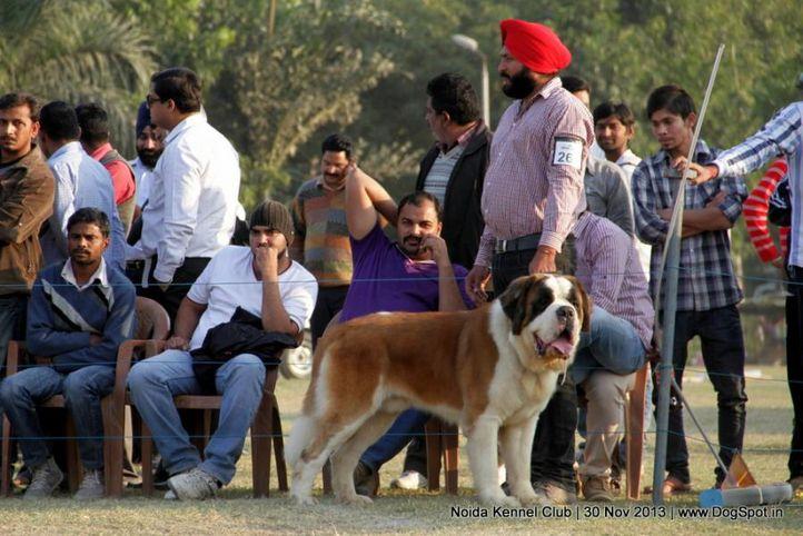st bernard,sw-99,, Noida Dog Show 2013, DogSpot.in