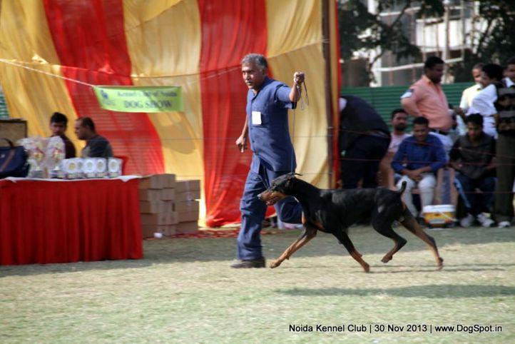 doberman,sw-99,, Noida Dog Show 2013, DogSpot.in