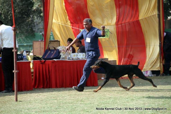 doberman,sw-99,, Noida Dog Show 2013, DogSpot.in