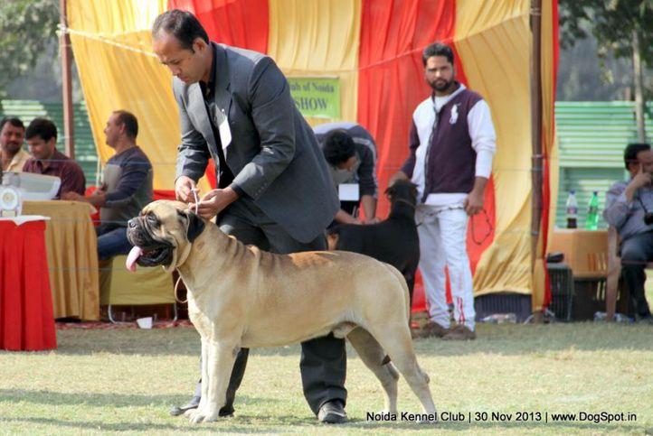 bullmastiff,sw-99,, Noida Dog Show 2013, DogSpot.in