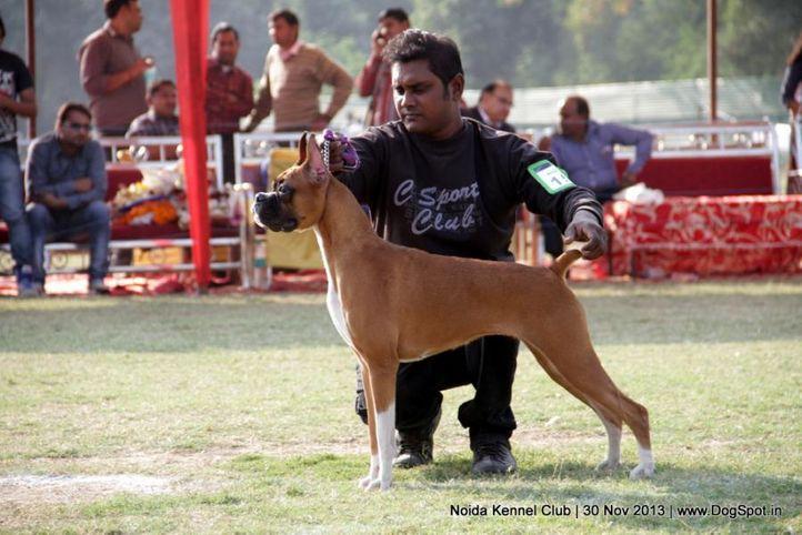 boxer,ex-158,sw-99,, ZEPHYR'S ORNELLA, Boxer, DogSpot.in