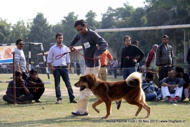 ex-287,sw-99,tibetan mastiff,, CHETAK OF GREEN HILL, Tibetan Mastiff, DogSpot.in