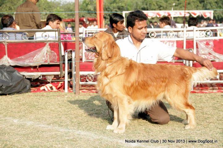 golden retriever,sw-99,, Noida Dog Show 2013, DogSpot.in