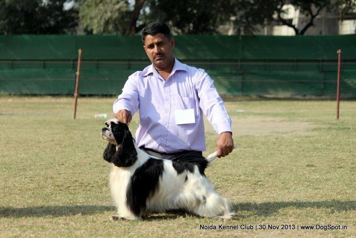 cocker,sw-99,, Noida Dog Show 2013, DogSpot.in
