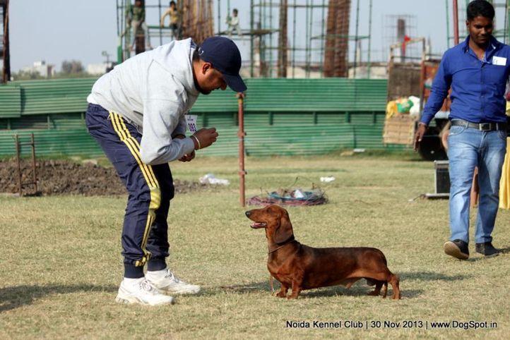 dachshund,ex-93,sw-99,, RAGVIS DAY DREAMER, Dachshund Standard- Smooth Haired, DogSpot.in