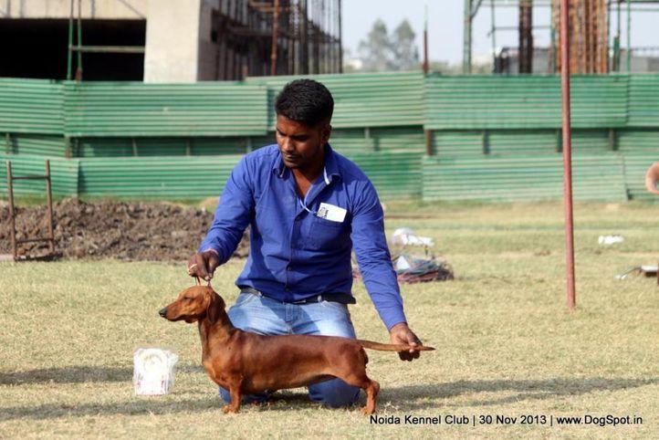 dachshund,sw-99,, Noida Dog Show 2013, DogSpot.in