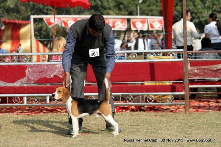 beagle,ex-361,sw-99,, Noida Dog Show 2013, DogSpot.in