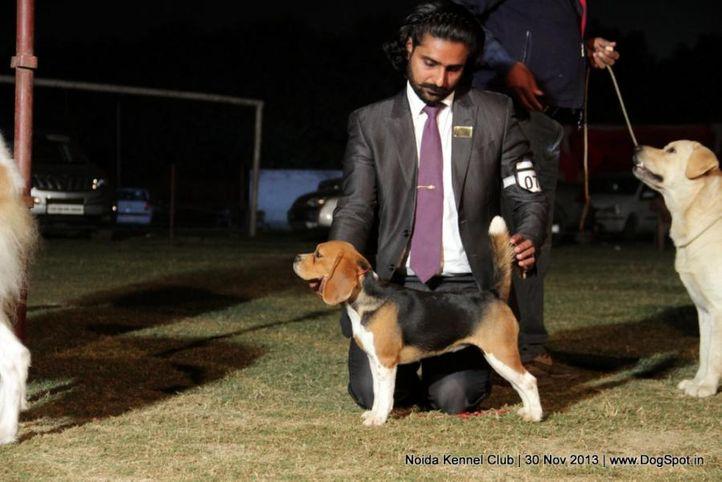 beagle,sw-99,, Noida Dog Show 2013, DogSpot.in