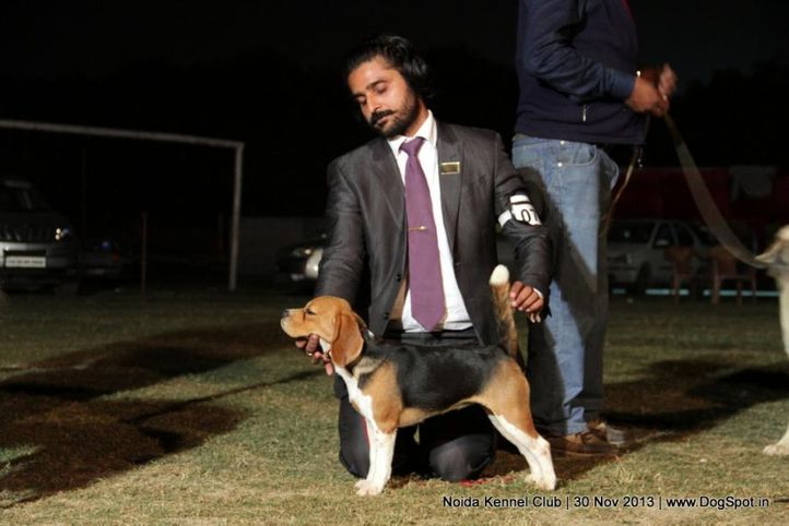 beagle,sw-99,, Noida Dog Show 2013, DogSpot.in