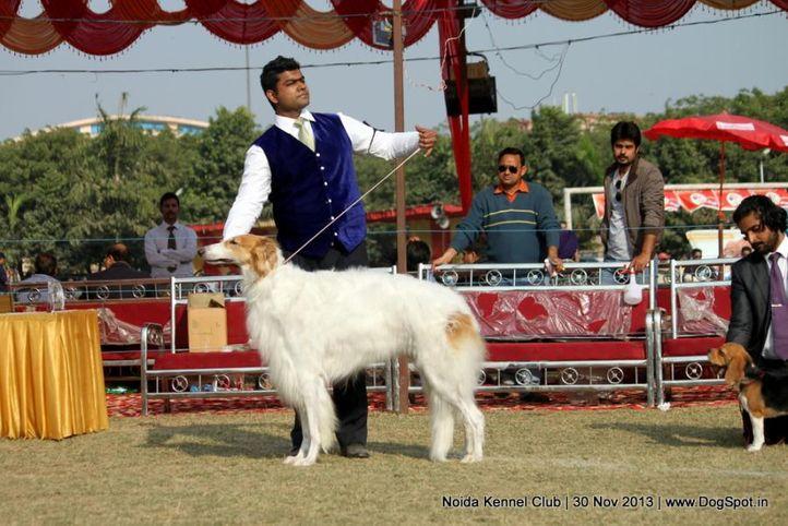 borzoi,sw-99,, Noida Dog Show 2013, DogSpot.in
