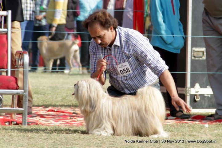 ex-58,lhasa apso,sw-99,, DHOOMI, Lhasa Apso, DogSpot.in