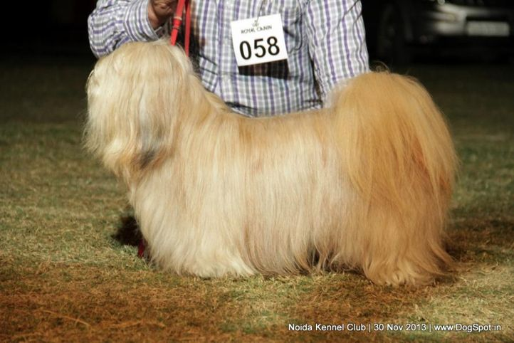 lhasa apso,sw-99,, Noida Dog Show 2013, DogSpot.in