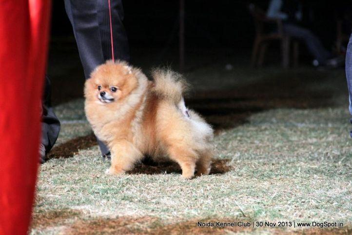 pomeranian,sw-99,, Noida Dog Show 2013, DogSpot.in