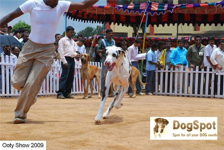 greatdane,, ooty dog show 2009, DogSpot.in