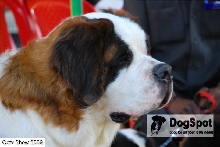 ST bernard,, OOty Dog Show 2009, DogSpot.in