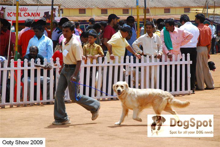 golden retriever,goldens,, ooty dog show 2009, DogSpot.in