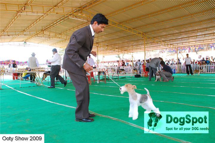 fox terrier,, ooty dog show 2009, DogSpot.in