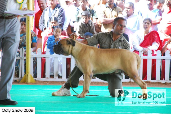 mastiff,, ooty dog show 2009, DogSpot.in