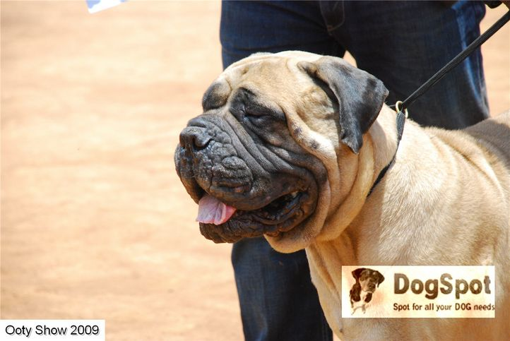 mastiff,, ooty dog show 2009, DogSpot.in