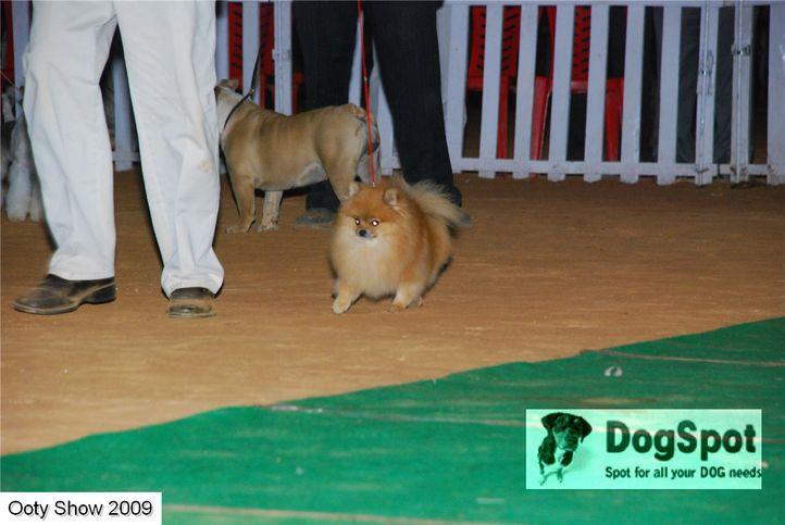 pom,, ooty dog show 2009, DogSpot.in