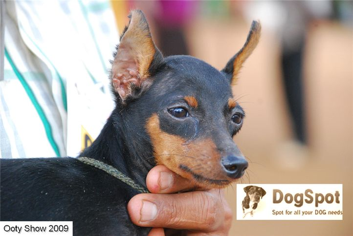 Minpin,, ooty dog show 2009, DogSpot.in