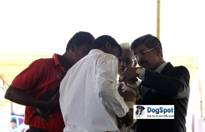 sw-18, chihuahua,ex-430,judges,, Ooty Dog Show 2010, DogSpot.in
