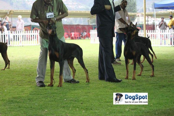 sw-18, doberman,ex-250,, MERLIN'S FAMOUS AMOS, Doberman Pinscher, DogSpot.in