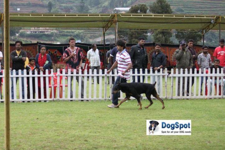 sw-18, doberman,, Ooty Dog Show 2010, DogSpot.in