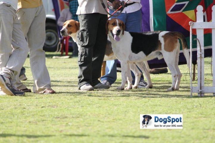 sw-18, foxhound,, Ooty Dog Show 2010, DogSpot.in