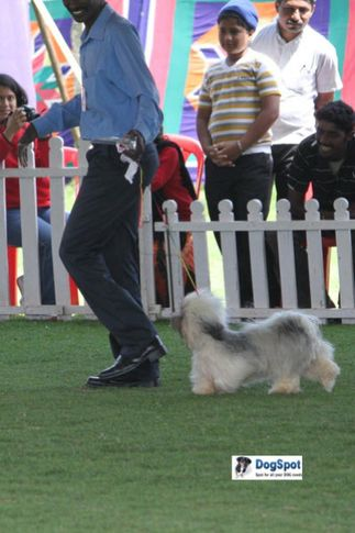 sw-18, ex-73,lhasa apso,, DEAR AND NEAR, Lhasa Apso, DogSpot.in